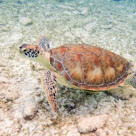 Snorkling along side a Sea Turtle