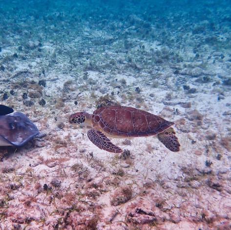 Sea Turtle, Stingray & Fish