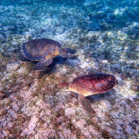 Pair of Sea Turtles