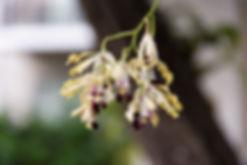 Cayman Orchids