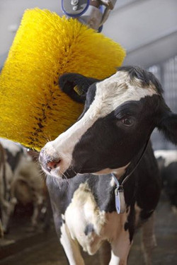 Cow care
