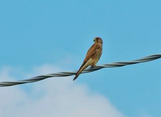 Uccelli del Matese: il gheppio.