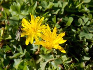 Una nuova rarità botanica per il Matese: Taraxacum glaciale.