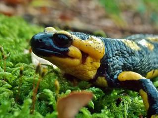 Salamandra pezzata: una nuova popolazione sul Matese.