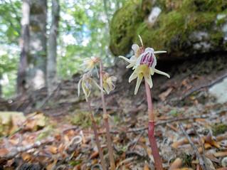 Aggiornamenti su Epipogium aphyllum Sw.