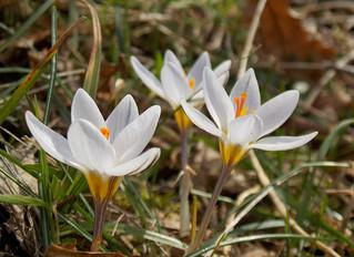 Flora del Matese: i Crocus.