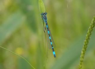 Ritrovata una rara libellula: Coenagrion mercuriale (Charpentier, 1840).