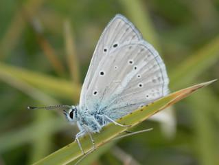 Polyommatus virgilius (Oberthür, 1910).