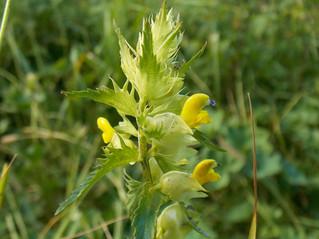Ancora una nuova specie si aggiunge alla flora del Matese.