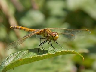Una nuova specie di libellula per il Matese.