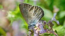 "Monitoraggio dei lepidotteri in Direttiva ""habitat"" del Matese: Maculinea arion (Linnaeus, 1758)."