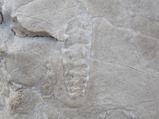 I principali fossili del Matese (parte II)