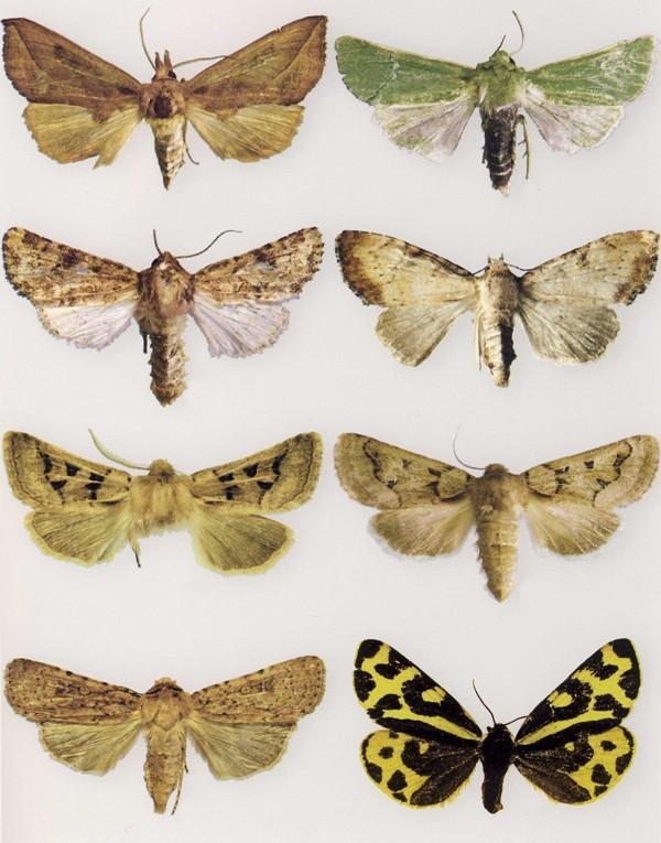 Tavola 2 – Dall'alto a sinistra, Calyptra thalictri, Calamia tridens, Luperina samnii, Apamea scolapacina, Episema tersa (maschio), Episema tersa (femmina), Rhyaciasimulans, Parasemia plantaginis.