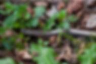 Anguis fragilis