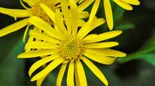 Jacobaea samnitum (Nyman) B. Nord. & Greuter