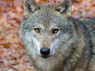 Chi ha paura del lupo cattivo?