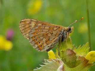 I lepidotteri del Massiccio del Matese