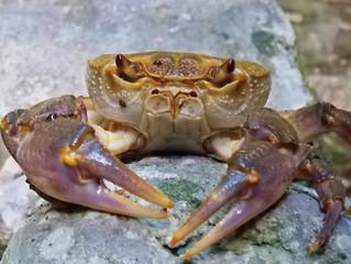 Potamon fluviatile: un granchio d'acqua dolce da salvare.