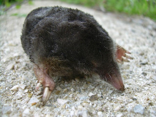 Fauna del Matese: la talpa.