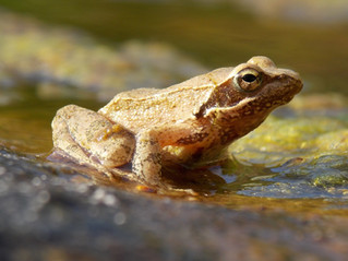 Anfibi del Matese: la rana appenninica.