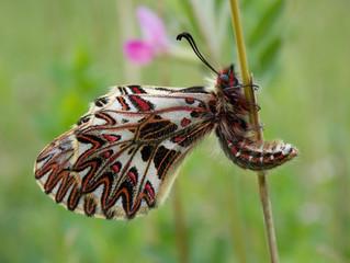 """Monitoraggio dei lepidotteri in Direttiva """"habitat"""" del Matese: Zerynthia cassandra (Geyer, 1828)."""