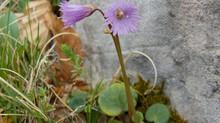 Flora del Matese: Soldanella alpina L.