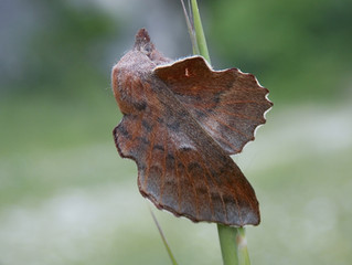Un nuovo tassello si aggiunge alla biodiversità del Matese: Phyllodesma ilicifolia.