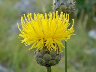 Ancora una nuova entità per la flora del Matese: Centaurea arachnoidea subsp. adonidifolia.