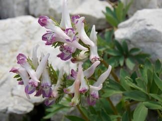 Corydalis densiflora subsp. apennina: un nuovo endemismo della flora appenninica.