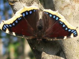 Lepidotteri del Matese: l'antiopa.