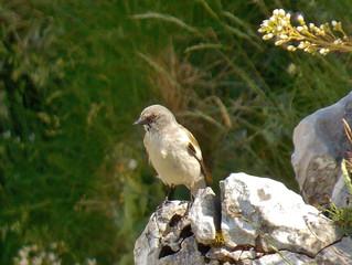 Il Fringuello alpino torna a nidificare sul Matese