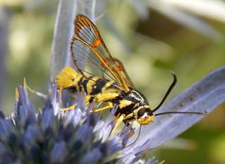 Synanthedon vespiformis: una falena travestita da vespa.