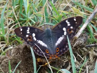 Apatura ilia: una nuova farfalla per il Matese.