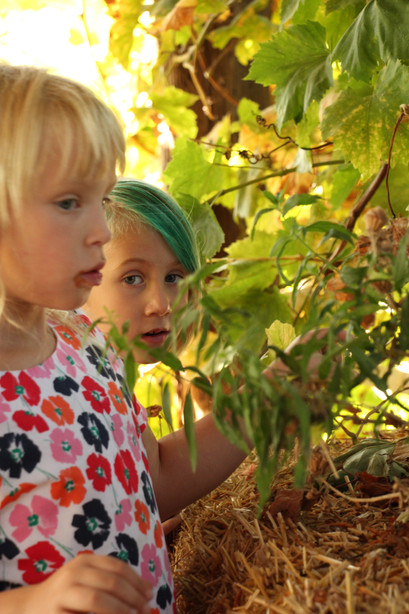 Looking for grapes in the grapevines...