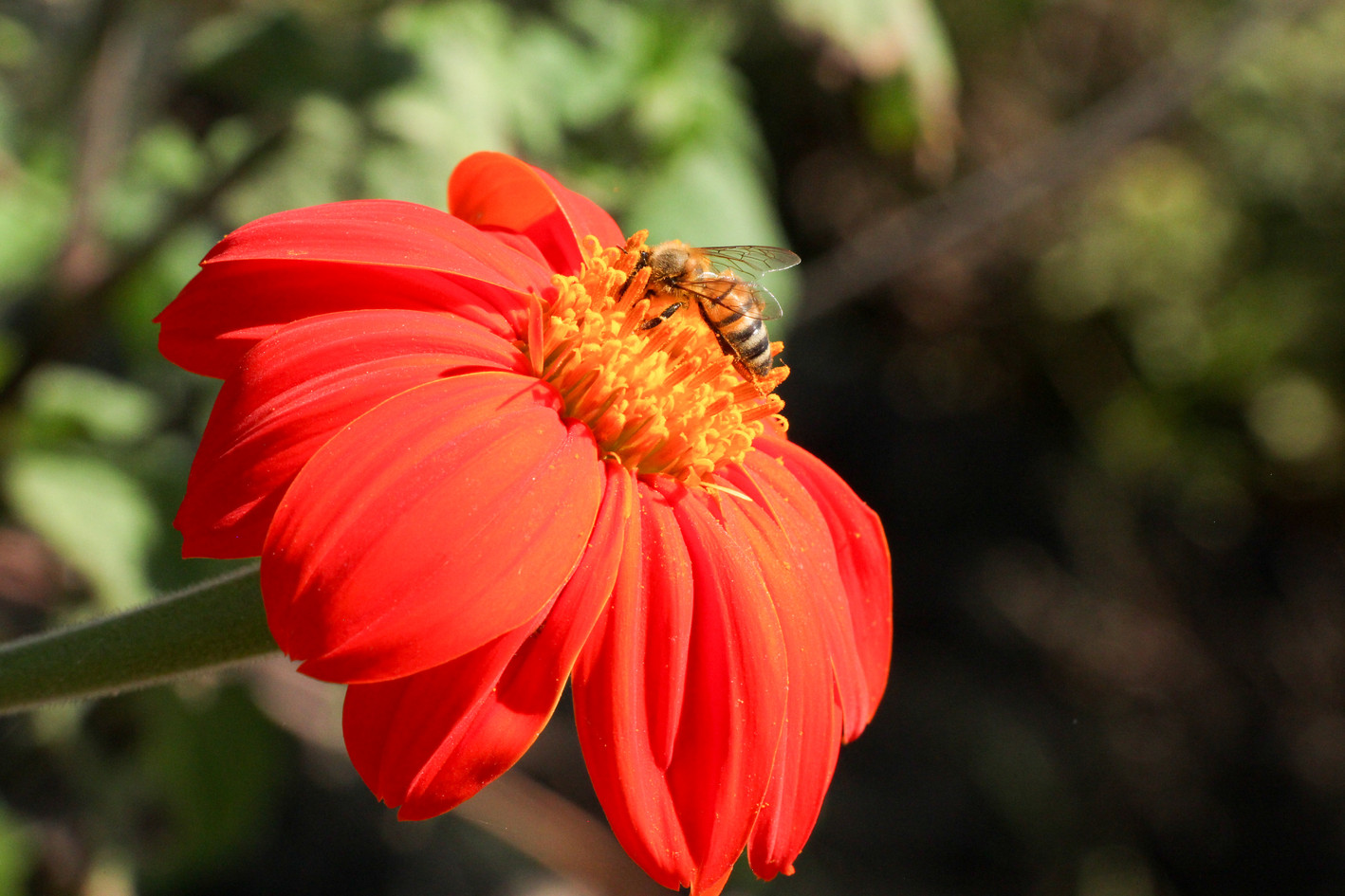 Flowers are bee charmers and are part of polyface farming!