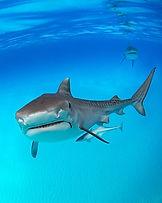 Tigerhai - mal ganz nah.
