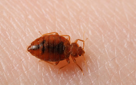 dl_612bedbugs_bed_bug_feeds_on_arm_fm_ab