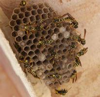 wasp nest in vermont