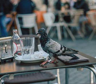 pigeon on restaurant table
