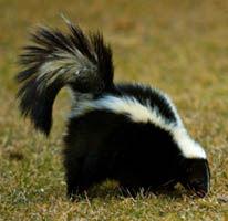 skunk in vermont