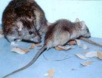 norway rat in vermont