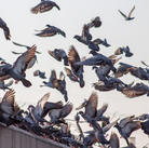 Pigeons & Birds