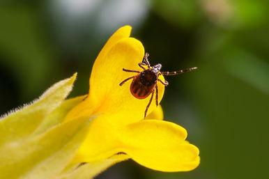 tick on flower in vermont