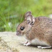 Rats & Mice