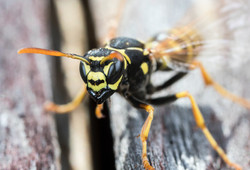 Bee and Wasp Removal Burlington Vermont