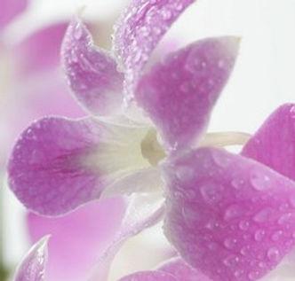 Dendrobium Sakura -ecan_0080 (2).jpg