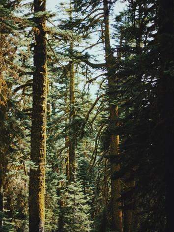 shasta trees.JPG