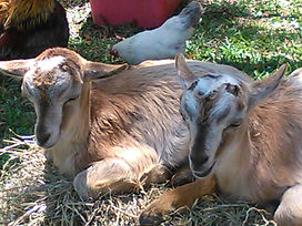 baby goats for kids parties, baby farm animals