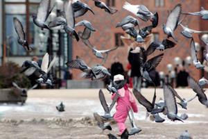 Staromiejskie gołębie, Olsztyn, 2005