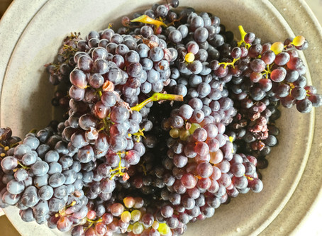 21 Clusters of Grenach grapes with seeds, too many to eat so it was time to get the jam on!